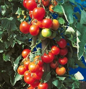 Tomaten Harzfeuer F1-Hybride