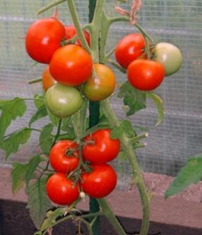 Tomaten Phantasia resistente Stabtomate
