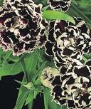 Nelken Black and white Minstrels zweijährig 35 cm